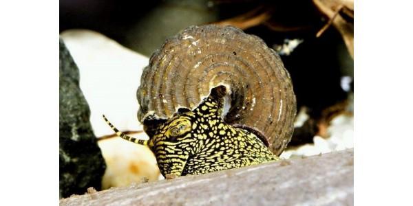 Tylomelania sp. . - Sulawesi nyúlcsiga , ( Sárga pöttyös)