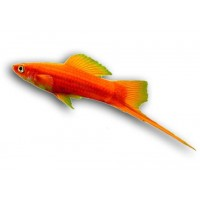 Mexikói kardfarkúhal (piros)