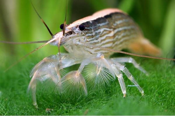 Legyező garnéla - Atyopsis moluccensis