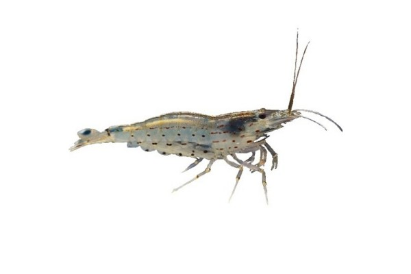 Amanó garnéla (Caridina multidentata)