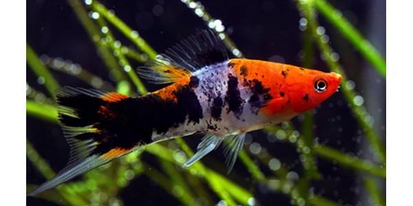 Mexikói kardfarkúhal (háromszínű - tricolour)