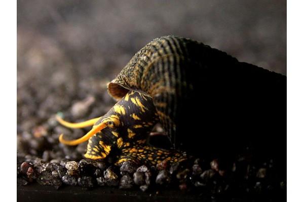 Tylomelania sp. . - Sulawesi nyúlcsiga , ( Sárga pettyes!)