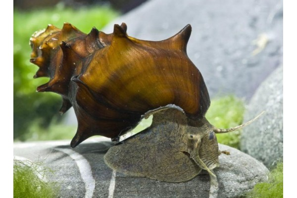 Brotia pagodula - Pagoda csiga
