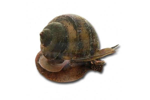 Viviparus contectus - Tavicsiga