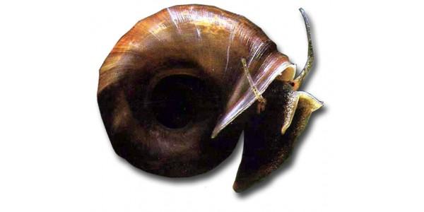 Planorbarius corneus - Postakürt csiga (3db)