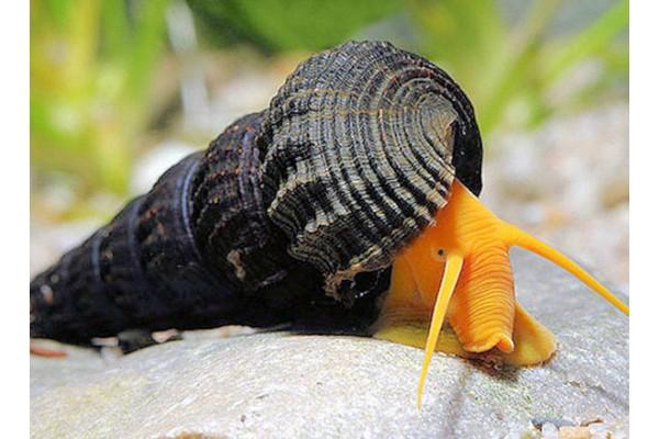 Tylomelania sp. . - Sulawesi nyúlcsiga , ( Szuper orange!)