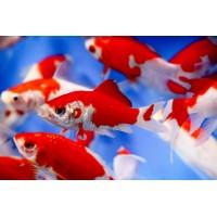 Piros-fehér aranyhal 10-15cm , HELYSZÍNI VÁSÁRLÁS