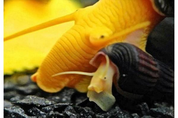Tylomelania sp. . - Sulawesi nyúlcsiga Béby! (Saját tenyésztés!)