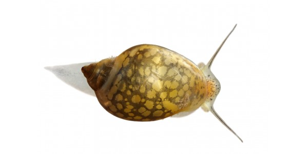 Physella acuta - Hólyagcsiga (3 db)