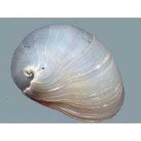 Fehér rohamsisak csiga (Neritina pulligera)